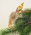 Mini-Feldlerche, Naturfeder,  Vogel des Jahres    -NEU-