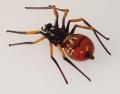 Spinne braun, mit  Einschmelzungen